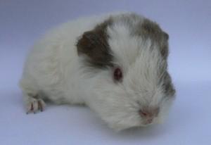 Daisy, weiblich, lilac-safran-weiß