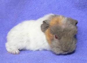 Dolly, weiblich, lilac-safran-weiß
